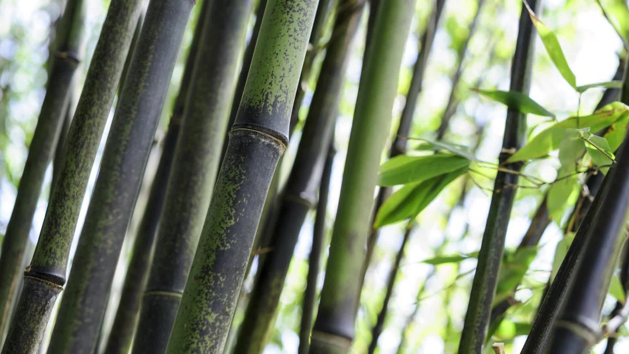 Phyllostachys Nigra In Pots How To Stop Black Bamboo Spreading Bbc Gardeners World Magazine