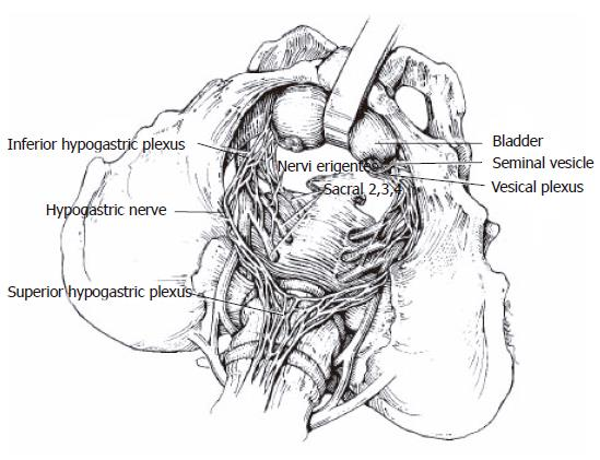 autonomic nerve diagram