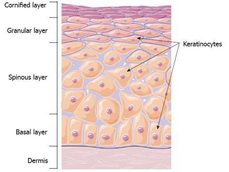 Activated protein C A regulator of human skin epidermal - Keratinocytes