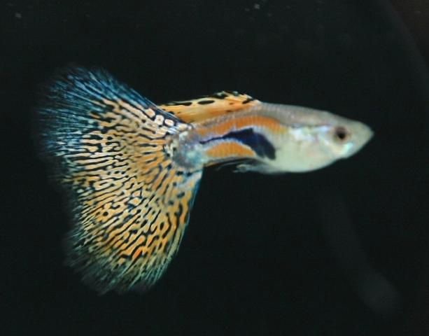 Macam2 Ikan Icefilmsinfo Globolister Jenis Jenis Ikan Guppy Fachris Blog