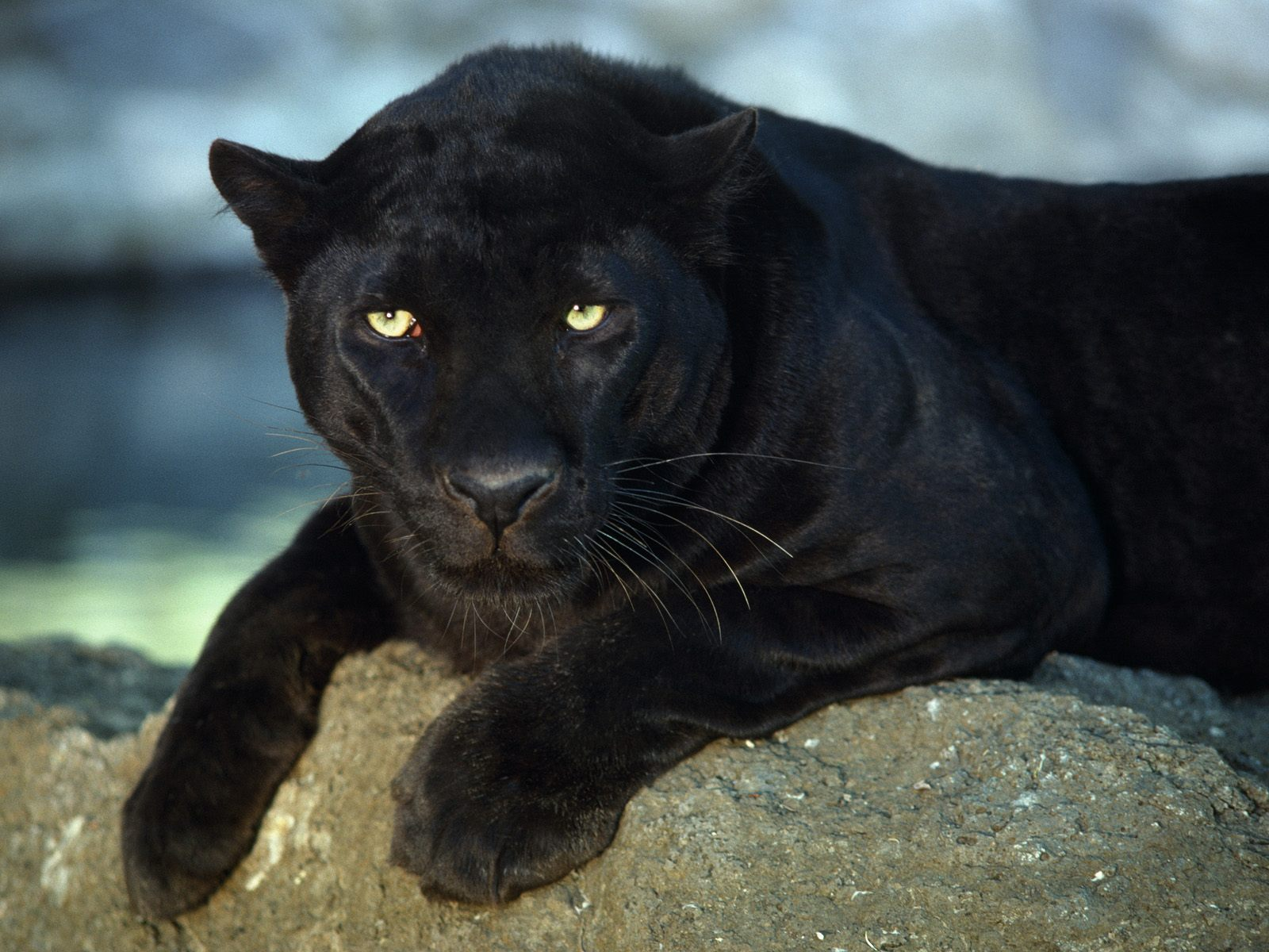 Animal Noir What Is A Panther Black Panther Fascinating Animals