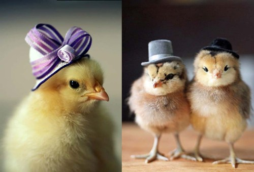 Cute Pet Animals Hd Wallpapers 10 Facts About Baby Chickens Fact File