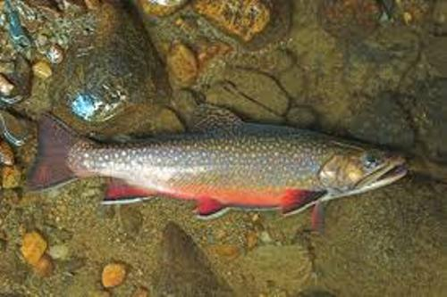Fall In The Smokies Wallpaper 10 Facts About Brook Trout Fact File