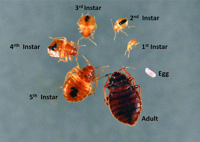 T-4420 Preventing Bed Bugs » OSU Fact Sheets