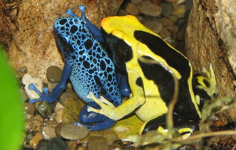 Poison Dart Frog \u2013 The Deadliest Frog on Earth  Facts List - frog body