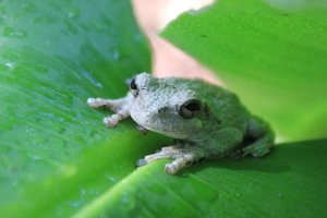 Vandy Frog