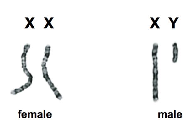 XY-chromosomes-x-y-determinant-sexe-1