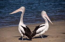 pelicans-446864__180