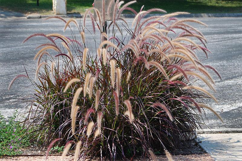 Pennisetum Setaceum Rubrum Falling Water Garden Plants