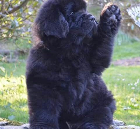 Black Cat Fall Wallpaper Newfoundland Dog Info And Pictures Fallinpets