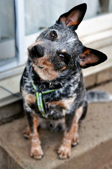 Fall Dog Wallpaper Info And Pictures About Australian Cattle Dog Fallinpets