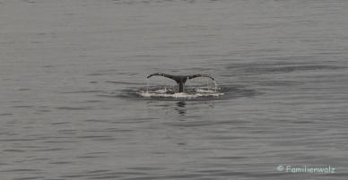 Familienwalz - Erotik einer Walfahrt - Buckelwal im Sankt-Lorenz-Strom