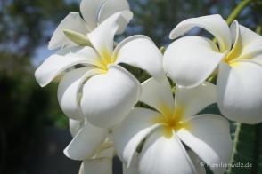 Frangipani-Blüte