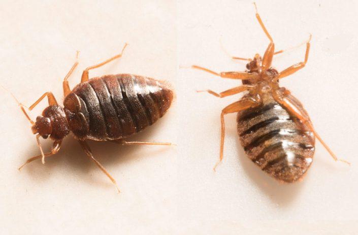 Bedbugs - familydoctororg