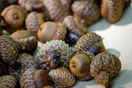 acorn collection day