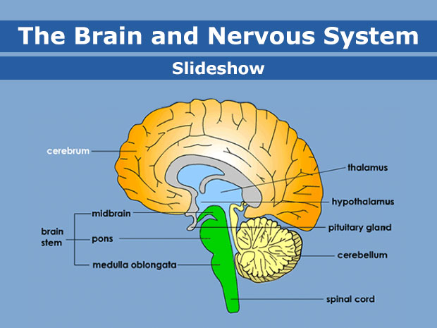 Brain and Nervous System (for Parents) - KidsHealth