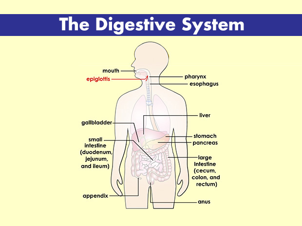 Digestive System (for Teens) - KidsHealth