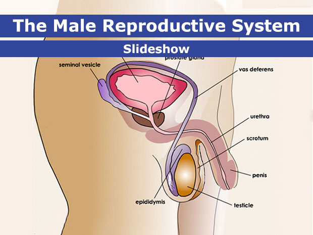 Male Reproductive System (for Teens) - KidsHealth