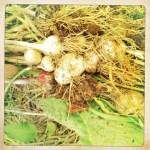 Plaiting Garlic!