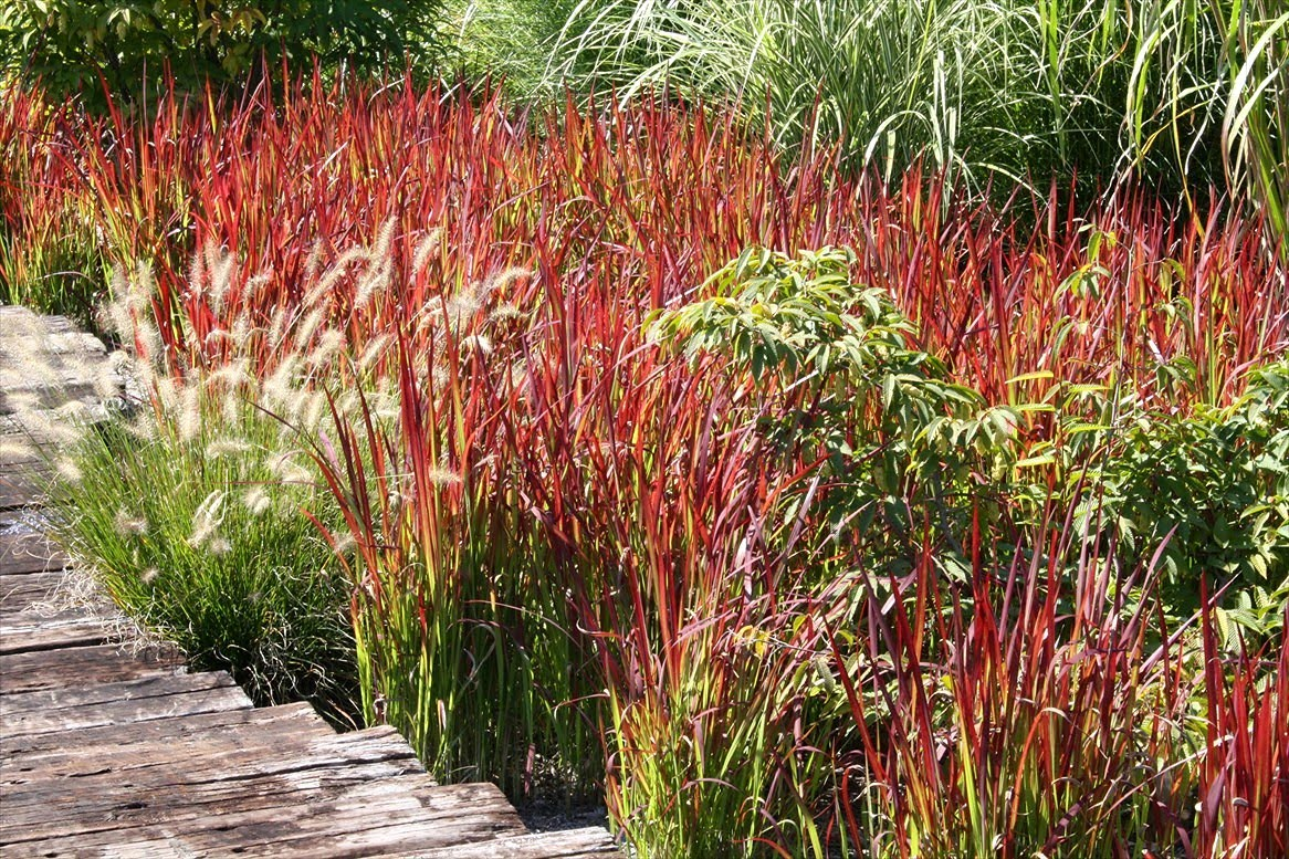 Balkon Baron Imperata Cylindrica Rubra Japanese Blood Grass Far