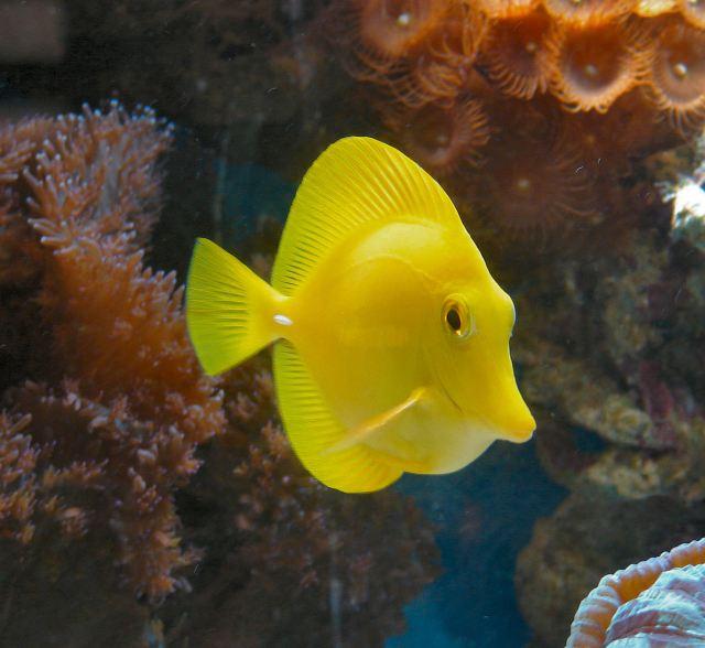 Tang // water yellow county fish monroe indiana saltwater aquarium
