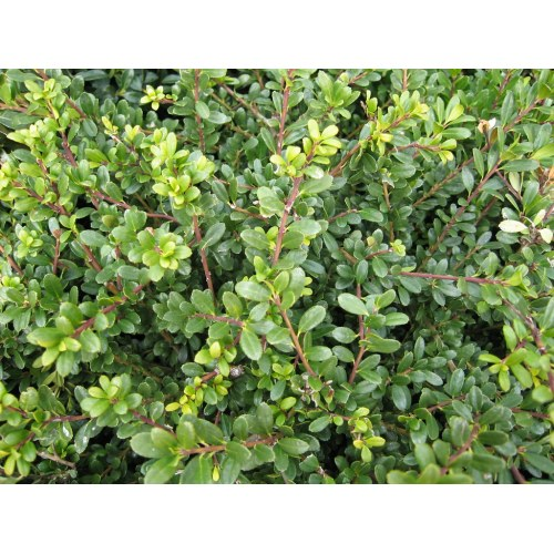 Medium Crop Of Soft Touch Holly