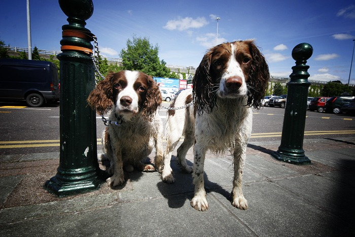 The patient springer spaniels