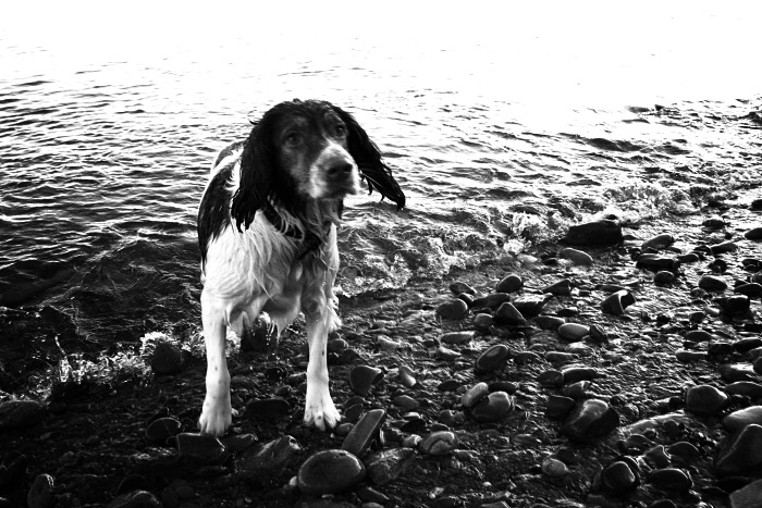 The soaking wet happy springer spaniel