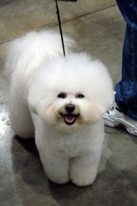 bichon frise best family dog