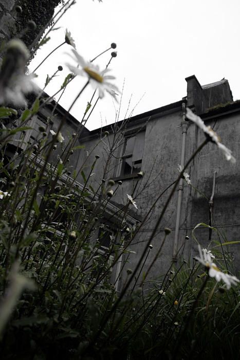 Daisies in the ruins