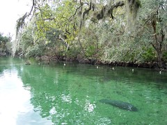 Manatee in Blue Spring