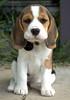 Bonnie the Beagle by Ian Main