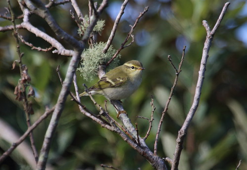 """Yellow-browed Warbler, Lands End, 250915 (M.Halliday • <a style=""""font-size:0.8em;"""" href=""""http://www.flickr.com/photos/30837261@N07/21509758423/"""" target=""""_blank"""">View on Flickr</a>"""