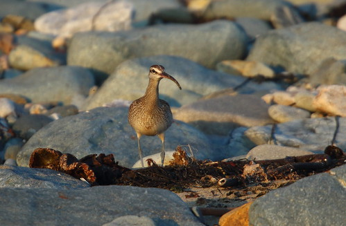 """Hudsonian Whimbrel, Marazion, 03.11.15 (M.Halliday) • <a style=""""font-size:0.8em;"""" href=""""http://www.flickr.com/photos/30837261@N07/22871225235/"""" target=""""_blank"""">View on Flickr</a>"""