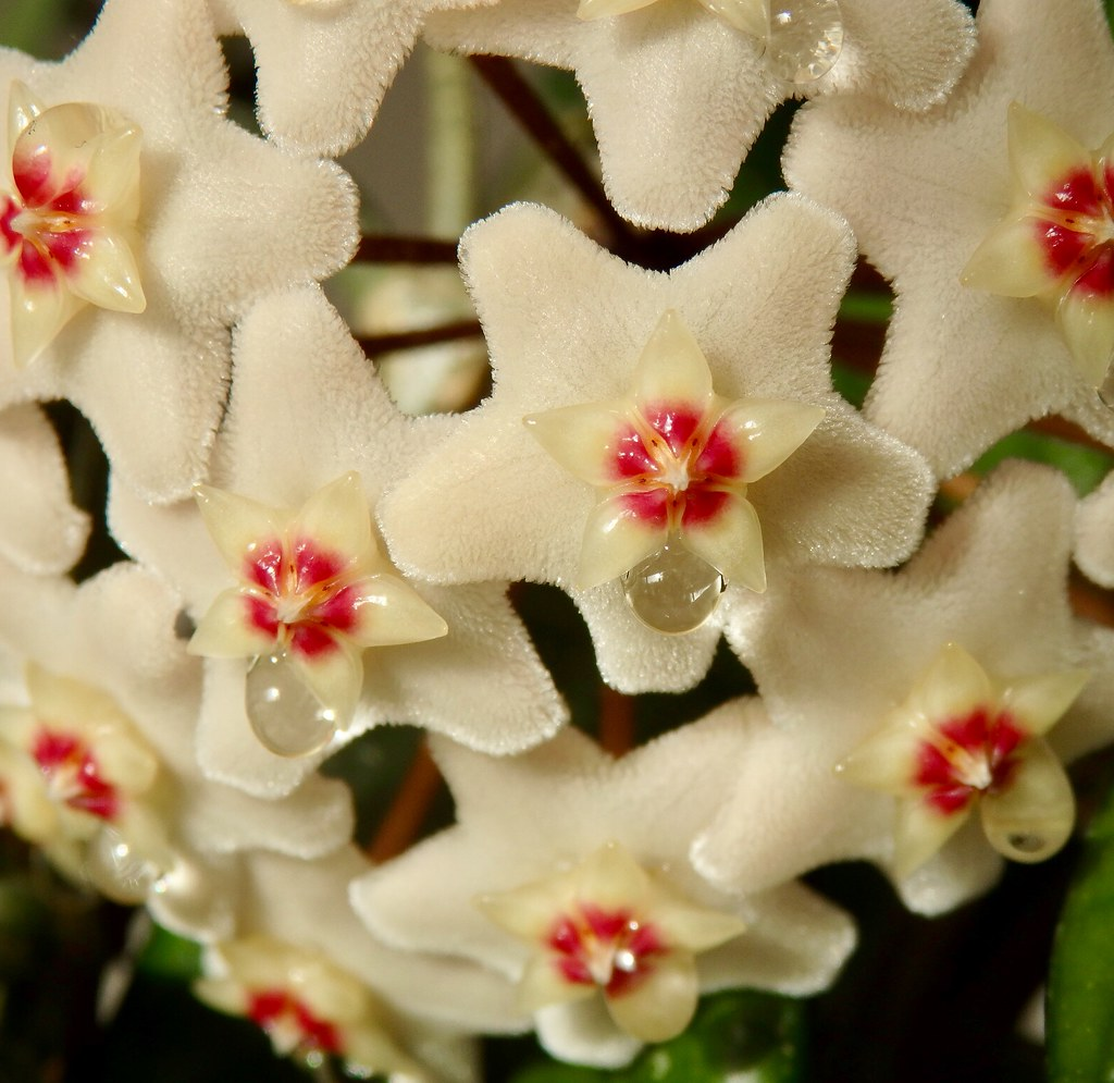 Hoya Plant Kopen The World S Most Recently Posted Photos Of Kamerplant Flickr