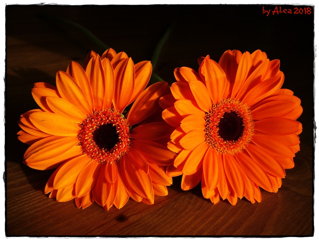 Gerbera Blume The World S Best Photos Of Blume And Gerbera Flickr Hive Mind