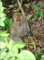 Wild Monkey at Krabi, Thailand