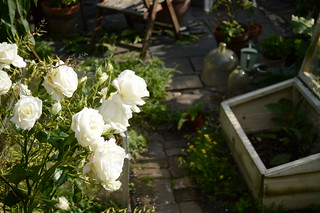 White roses and cold frame 17-7-2015
