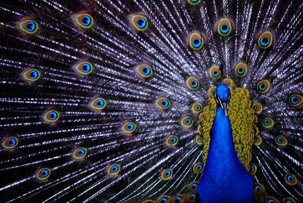Imagen gratis de un bonito pavo real