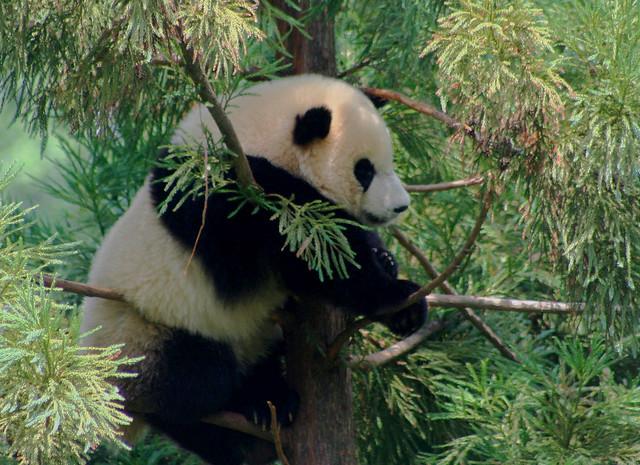 Cute Baby Feet Wallpaper Tai Shan National Zoo S Panda Cub At 1 Year Old Flickr