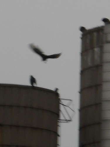 Turkey Vultures on 2 Silos