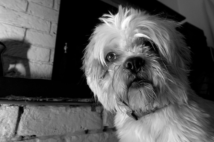 Eye of the Shih Tzu