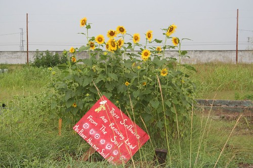 Sunflowers for lead removal