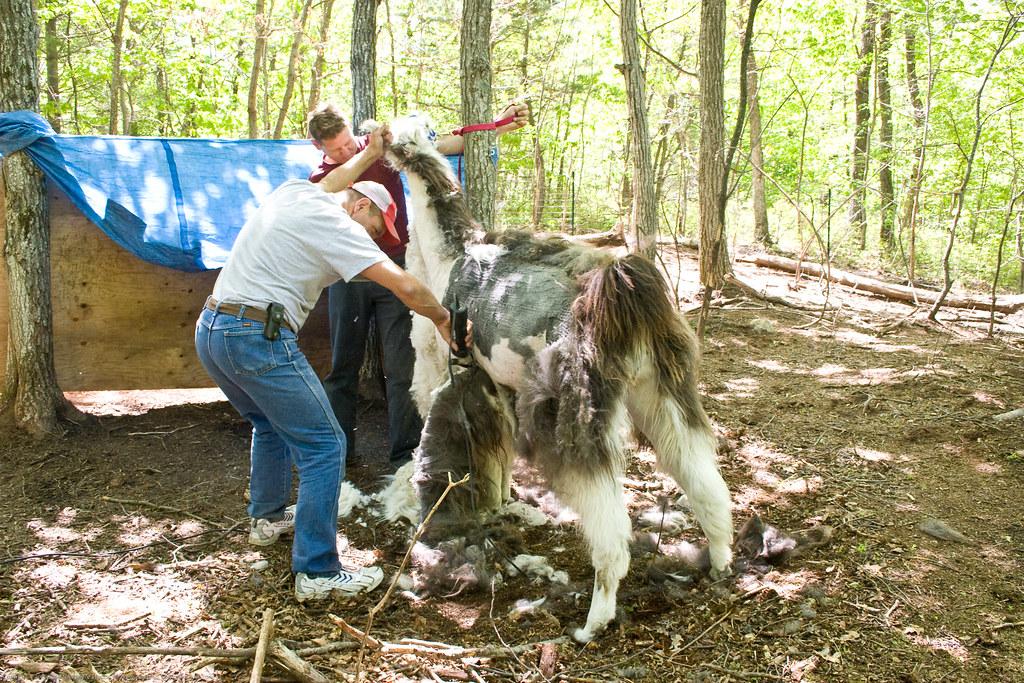 Humble Garden: Llama shearing