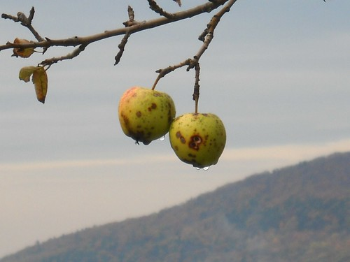 Orchard above Kripalu
