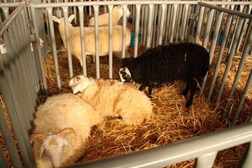 san diego county fair sheep
