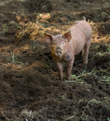 Organic tamworth pig