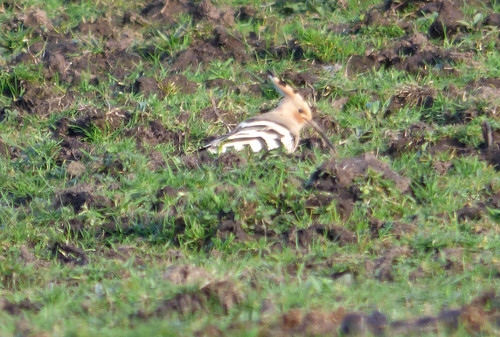"""Hoopoe, Sancreed,05.04.16 (D.Flumm) • <a style=""""font-size:0.8em;"""" href=""""http://www.flickr.com/photos/30837261@N07/25664596473/"""" target=""""_blank"""">View on Flickr</a>"""