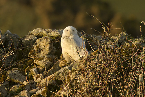 """Snowy Owl, St Just, 04.04.16 (A.Hugo) • <a style=""""font-size:0.8em;"""" href=""""http://www.flickr.com/photos/30837261@N07/26172502171/"""" target=""""_blank"""">View on Flickr</a>"""