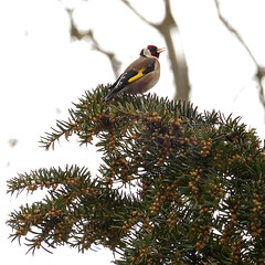 Singing Goldfinch